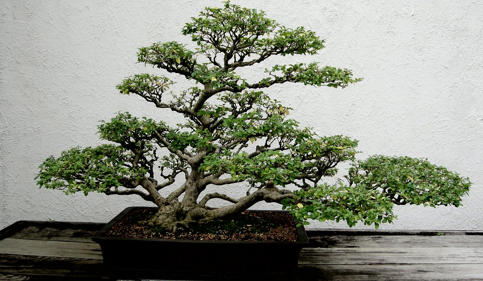 Symbol of Harmony and Elegance - Bonsai | How To Build A House: www.howtobuildahouseblog.com/bonsai-a-symbol-of-harmony-and-elegance